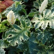 Acanthus 'Whiteriver' (Akant) - acanthus-whitewater_79317_1.jpg