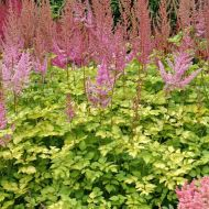 Astilbe arendsii 'Color Flash Lime' (Tawułka Arendsa) - astilbe_color_flash_lime.jpg