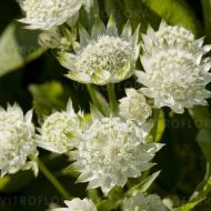 Astrantia major 'White Angel'(Jarzmianka większa') - astrantia-white-angel_75010_8.jpg