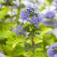 Caryopteris x clandonensis 'Hint of Gold' (Barbula klandońska) - barbula_hint_of_gold.jpg