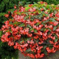 Begonia X hybrida Dragon Wing Red - begonia_dragon_wing_red.jpg
