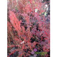 Berberis thunbergii 'Red Chief' (Berberys Thunberga ) - berberis_thunbergii__red_chief__(2).jpg