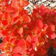 Berberis thunbergii 'Orange Ice' (Berberys Thunberga) - berberys_orange_ice_1.jpg