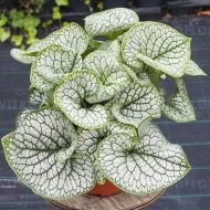 Brunnera macrophylla  'Sea Heart' (Brunera wielkolistna) - brunnera-sea-heart_71829_41.jpg