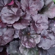 Heuchera 'Grape Expectation' (Żurawka) - byliny-i-trawy_inne_73074_1.jpg