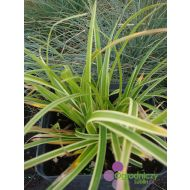 Carex morrowi 'Ice Dance' (Turzyca Morrowa ) - carex_morrowi__ice_dance_.jpg