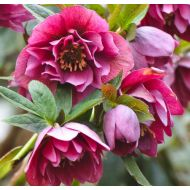 Helleborus orientalis Double Red - Magic Series'  (Ciemiernik wschodni pelny czerwony) - ciemeirnik_double_red.jpg