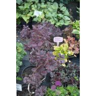 Cotinus coggyria 'Royal purple' (Perukowiec podolski) - cotinus_coggyaria__royal_purple_.jpg