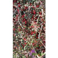 Cotoneaster dammeri 'Coral Beauty' (Irga Dammera) - cotonaster_dammeri__coral_beauty__(irga_dammera__coral_beauty)_1.jpg