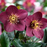 Helleborus HGC Ice N'Roses Early Red (Ciemiernik) - csm_schneerose_ice_n_roses_early_red_blueten_b653ff8e9a.jpg