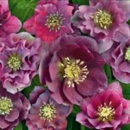 Helleborus orientalis 'Magic Double Red' 3l (Ciemiernik wschodni pelny czerwony) - double_red_kwadrat.jpg