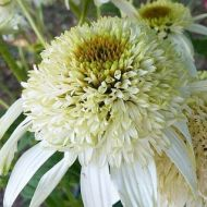 Echinacea purpurea 'White Double Delight' (Jeżówka purpurowa) - echinacea_double_delight.jpg