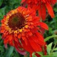 Echinacea purpurea 'Hot Papaya' (Jeżówka purpurowa) - echinacea_hot_papaya.jpg