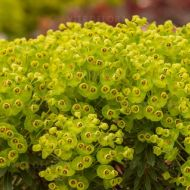 Euphorbia 'Red Wing' (Wilczomlecz) - eupohorbia_red_wing.jpg