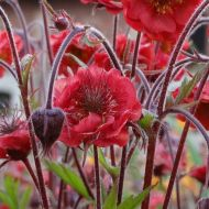 Geum rivale  'Flames of Passion' (Kuklik zwisły ) - geum_flames_of_passion.jpg