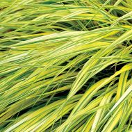 Hakonechloa macra 'Stripe It Rich'(trawa bambusowa) - hakonechloa_stripe_it_rich.jpg