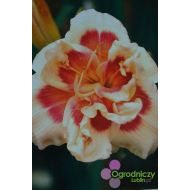 Hemerocallis 'Fourty Second Street' (Liliowiec) - hemerocallis__forty_seconds_street_.jpg