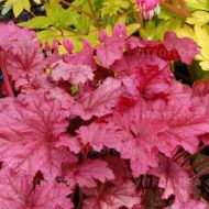Heuchera 'Berry Smoothie' (Żurawka) - heuchera-berry_smoothie.jpg