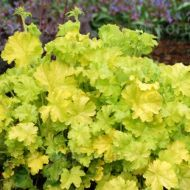 Heuchera 'Lime Rickey' (Żurawka) - heuchera-lime_rickey_(3).jpg