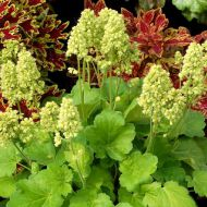 Heuchera 'Little Cuttie Blondie Lime'  (Żurawka  ) - heuchera-little-cutie-blondie-in-lime_73029_1.jpg