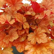 Heuchera 'Peach Flambe' (Żurawka) - heuchera-peach-flambe_73740_1.jpg