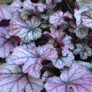 Heuchera 'Rose Quartz' (Żurawka) - heuchera-rose-quartz_73080_1.jpg