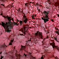 Heuchera 'Grape Soda' (Żurawka) - heuchera__grape_soda_.jpg