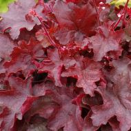 Heuchera 'Fire Chief' (Żurawka) - heuchera_fire_chief.jpg