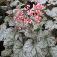 Heuchera 'Flores Sea'  (Żurawka  ) - heuchera_flores_sea.jpg