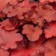 Heuchera 'Forever Red' (Żurawka) - heuchera_forever_red.jpg