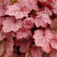 Heuchera 'Georgia Peach' (Żurawka  ) - heuchera_georgia_peach.jpg