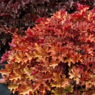 Heuchera 'Ginger Peach' (Żurawka ) - heuchera_ginger_peach_2.jpg