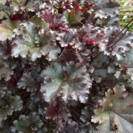 Heuchera 'Dark secret' (Żurawka ) - heuchera_hybride__dark_secret__(2).jpg