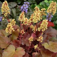 Heuchera 'Little Cuttie Blondie'  (Żurawka  ) - heuchera_little_cuttie_blondie.jpg