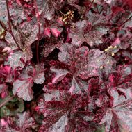 Heuchera 'Midnight Rose Select'  (Żurawka  ) - heuchera_midnight_rose_select.jpg