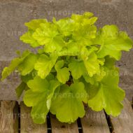 Heuchera 'Northern Exposure Lime' (Żurawka) - heuchera_northern_exposure_lime.jpg
