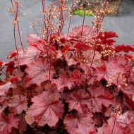 Heuchera 'Northern Exposure Red' (Żurawka) - heuchera_northern_exposure_red.jpg
