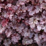 Heuchera 'Plum Pudding'  (Żurawka  ) - heuchera_plum_pudding_1.jpg