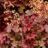 Heuchera 'Root Beer'  (Żurawka  ) - heuchera_root_beer_1.jpg