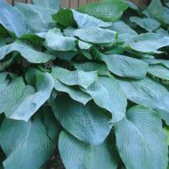 Hosta 'Big Daddy' (Funkia) - hosta-big-daddy_73884_1.jpg