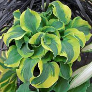 Hosta 'School Mouse' (Funkia) - hosta-funkia_school_mouse.jpg