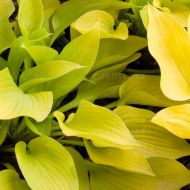 Hosta 'Golden Waffles' (Funkia) - hosta-golden-waffles_3.jpg