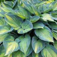 Hosta 'June' (Funkia) - hosta-june_71935_1.jpg