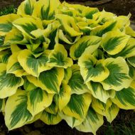 Hosta 'Liberty' (Funkia) - hosta-liberty_71953_1_(1).jpg