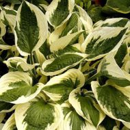 Hosta 'Patriot' (Funkia) - hosta-patriot_73816_1.jpg