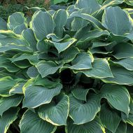 Hosta 'Regal Splendor' (Funkia) - hosta-regal-splendor_73878_1.jpg