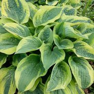 Hosta 'Wide Brim' (Funkia) - hosta-wide-brim_3a.jpg