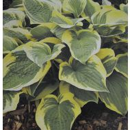 Hosta 'Austin Dickinson' (Funkia) - hosta__austin_dickinson_1.jpg