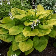 Hosta 'Age of Gold' (Funkia) - hosta_age_of_gold_2a.jpg