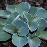 Hosta 'Blue Mouses Ear' (Funkia) - hosta_blue_mouse_ears.jpg
